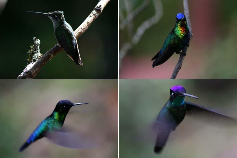 Colibri in zbor, Costa Rica