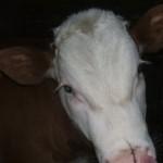 vitelul-isi-linge-botul