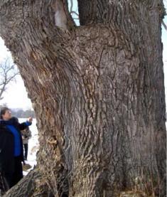 Arbore batran