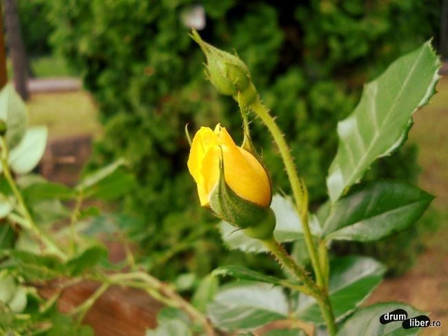 Boboc de trandafir