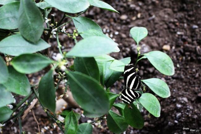 Fluturele Zebră