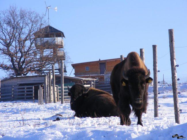 Bizoni canadieni la Jimbor, județul Brașov (între Rupea și Vlăhița)